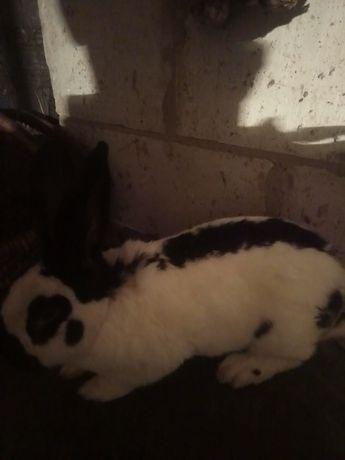Продам кроликов Или поміняю на зерно.