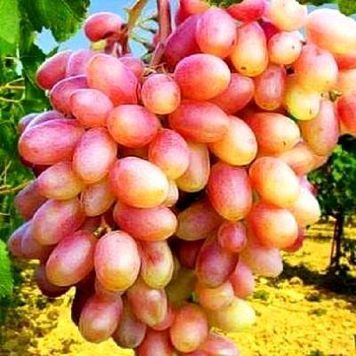 Саженцы Винограда Новые сорта винограда черенки техничес винные сорта.