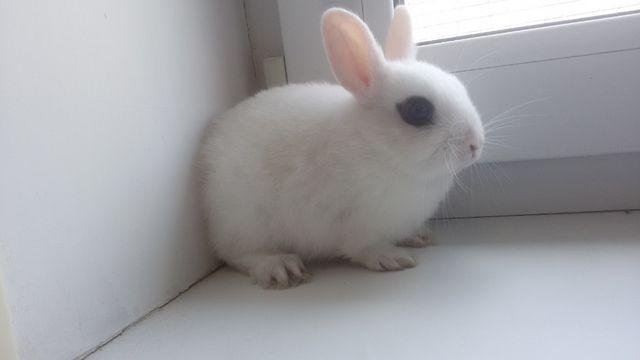 Карликовый декоративный кролик продам