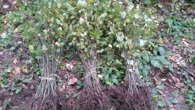 Граб для живой изгороди ( 50-60см )