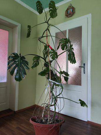 Кімнатна рослина Монстера