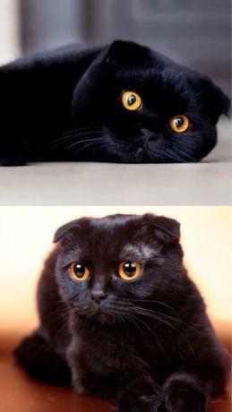 чорні ШОТЛАНДСЬКИ висловухі кошенята