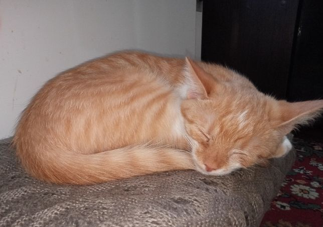 Рыжий котенок котик