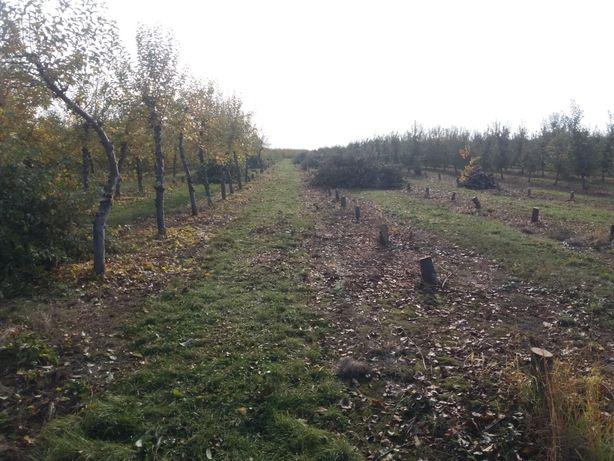 дерева на дрова яблуня