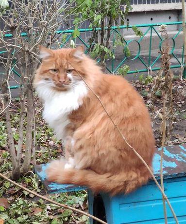 Котик Рыжик около двух лет. Котики, котята, кошечка