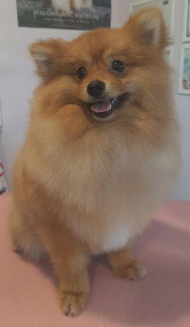 Psi fryzjer, groomer , strzyżenie psów