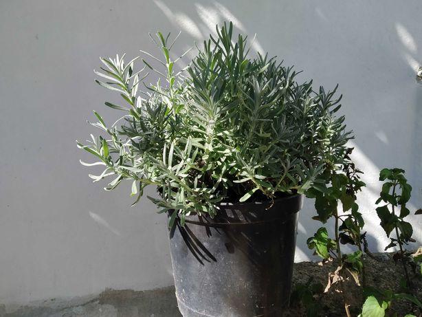 Alfazema, lavanda (Lavandula angustifolia), 3l-5l
