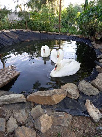 vendo trio de cisnes brancos adultos com 3 anos