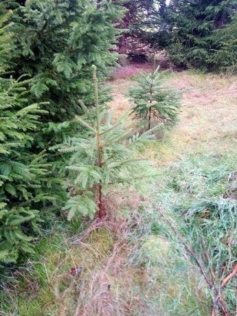 Choinka, drzewko świerkowe