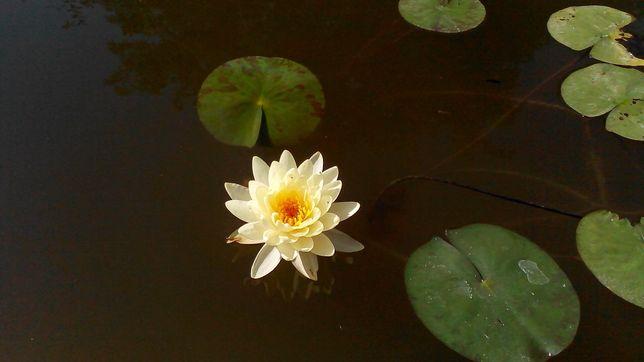 Кувшинки, нимфея , водяная лилия!