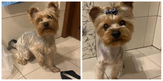Strzyzenie psow dojazd york yorkshire shytzu maltanczyk groomer