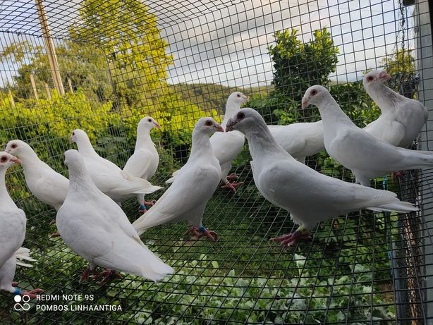 Pombos correios burrachos