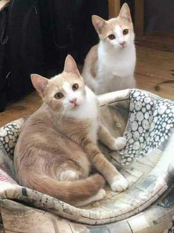 Котенок -мальчик, рыжий, персиковый окрас