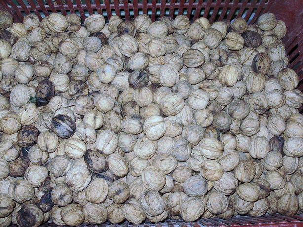 orzechy włoskie, podsuszone, z przydomowego sadu