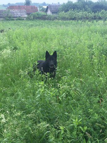 ЧОРНИЙ «К-9» ( німецька вівчарка )шукає дівчину для ВЯЗКИ!!!