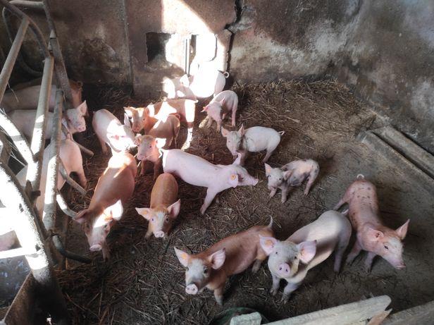 Sprzedam świnie !