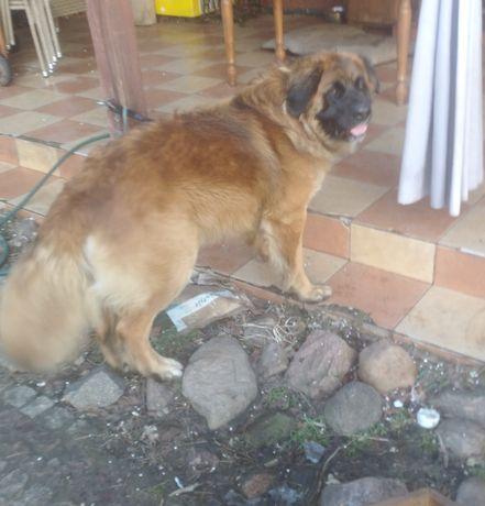 Duży pies potrzebuje opieka