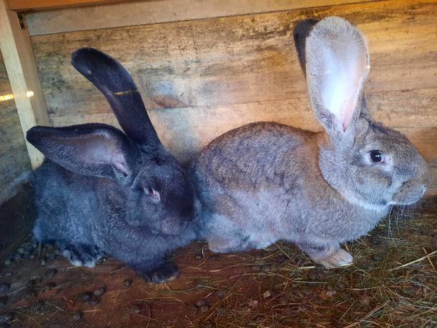 Sprzedam młode króliki - Szynszyl wielki - samce