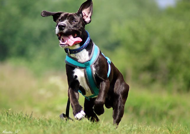 Ogi - roczny pies w typie amstaffa