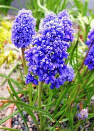 Продам многолетние цветы. Мускари