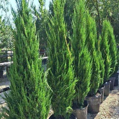 Хвойные растения для ландшафтников: туя, можжевельник, ель, пыхта