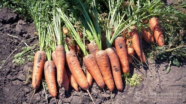 Велика морква!