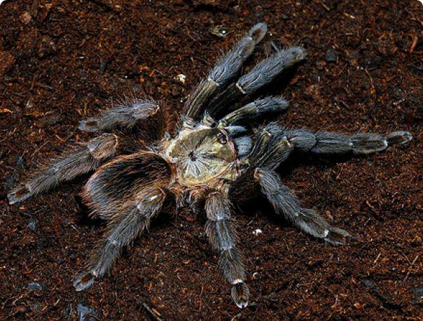 Паук самка Psalmopoeus reduncus 3 см