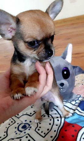 Chihuahua rodowód piesek czekoladowy hodowla Chocolate Gold