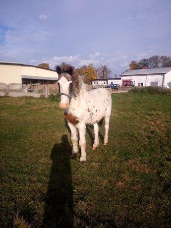 Koń ogier sprzedam lub zamienię