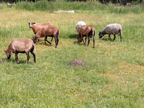 Owce kameruńskie i wrzosówki