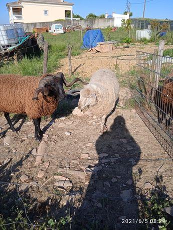 Vendo carneiros a bom preço