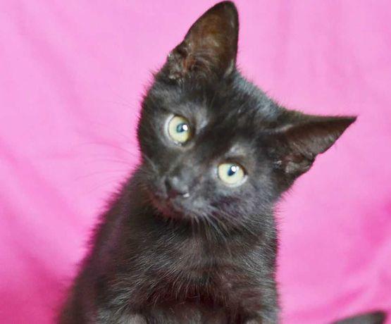 Кошенятко, чорний окрас, маленький хлопчик Кузя, 2,5 місяці