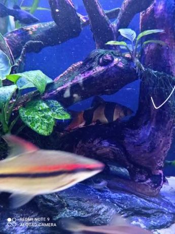 Bocja Wspaniała ryby