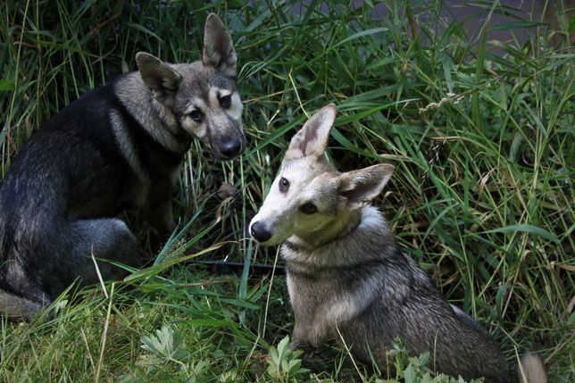 Szczeniaki łajka zachodniosyberyjska,nie husky, szukają domów, adopcja