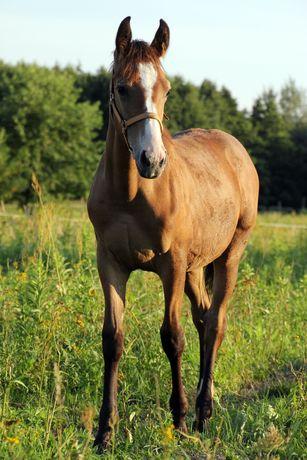 Źrebak małopolski, ogierek,  siwy, koń, odsadek