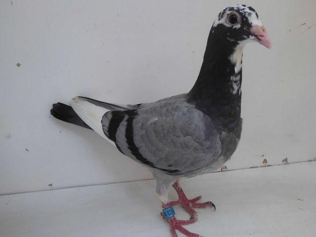 Gołębie pocztowe Gołąb Młodego 2021 L.B.JGeerinckx   rodowodem