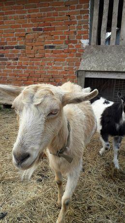 Коза, козочка, кози