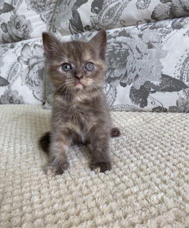 Котята шоколадного окораса ,Скоттиш Страйт
