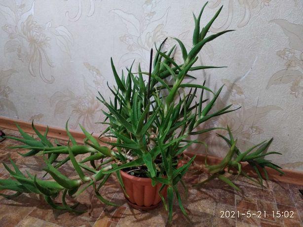 комнатные растения - Алоэ, денежное дерево