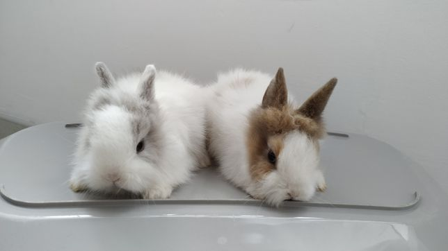 Króliczki Teddy, króliczki miniaturki