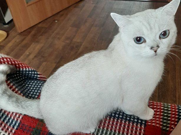 Шикарный кот в окрасе серебристая шиншилла ждёт дам на свидание.