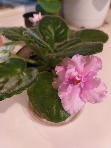 сенполия фиалка розовая