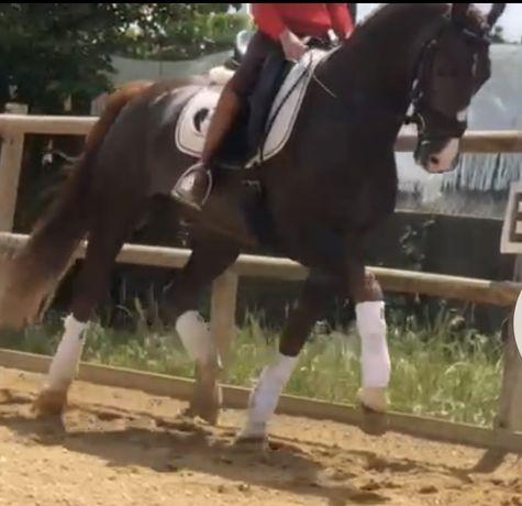 Cavalo Lazao 1,62 m