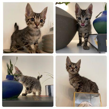 Rikinho gatinho 2 meses adopção responsavel