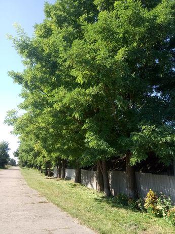 Деревья на спил, цена договорная
