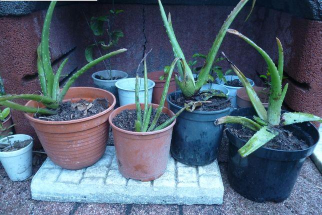 Cato Aloe vera envasados