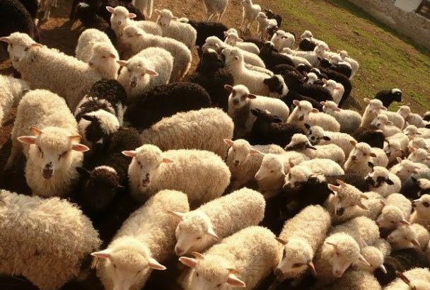 Ягнята,вівці,барани,овци