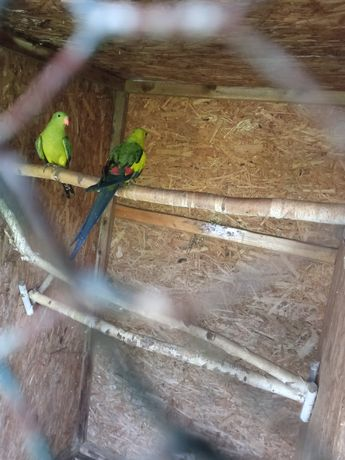 Papugi faliste i nimfy