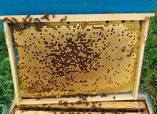 Пчеломатка - Матка пчелы - Матка Карпатка Висока якість