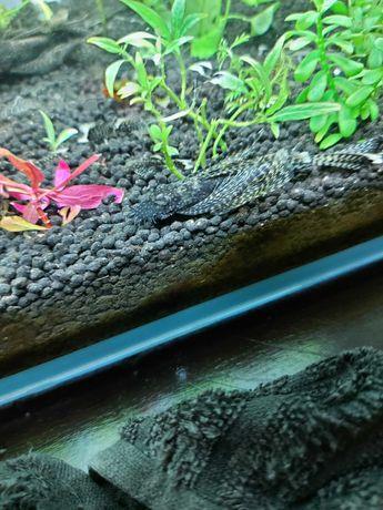 Glonojad samiec weloniasty 8 cm